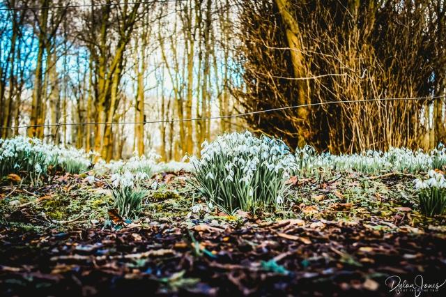 Welfod Park Snowdrops (10)