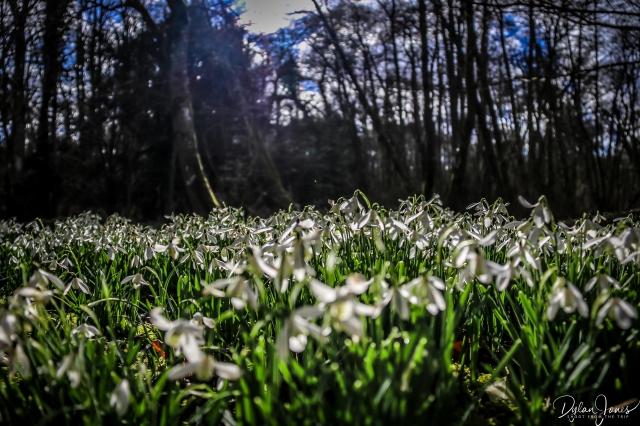 Welfod Park Snowdrops (2)
