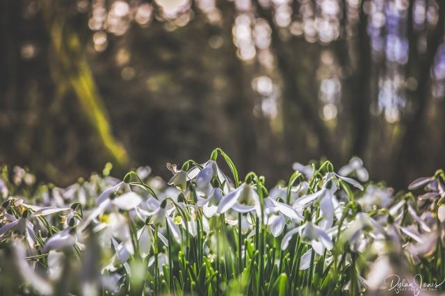 Welfod Park Snowdrops (3)