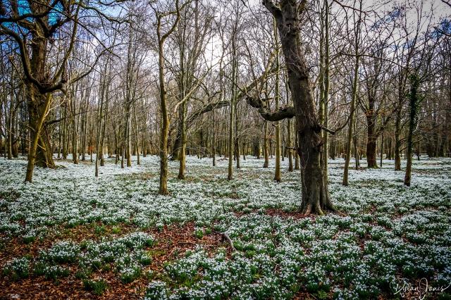 Welfod Park Snowdrops (4)