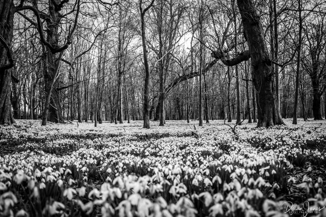 Welfod Park Snowdrops (5)