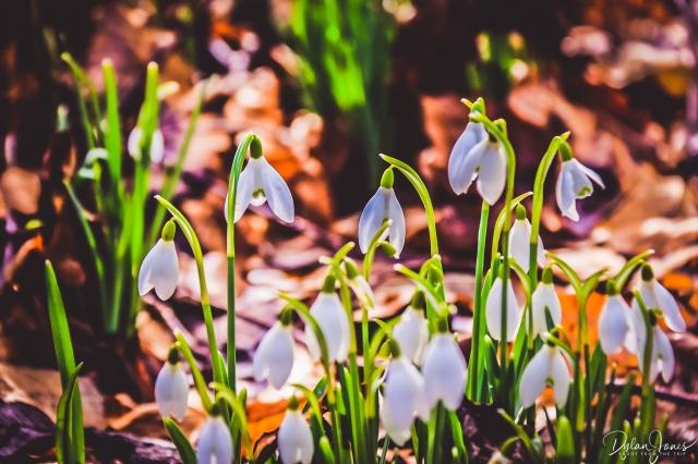Welfod Park Snowdrops (7)