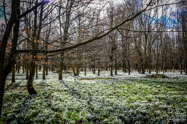 Welfod Park Snowdrops (8)