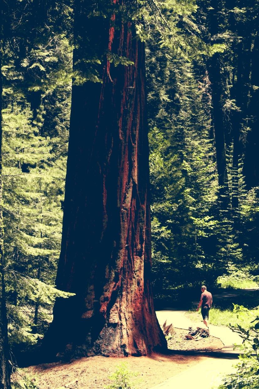 Sequoia (33)