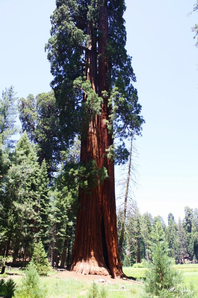 Sequoia (34)