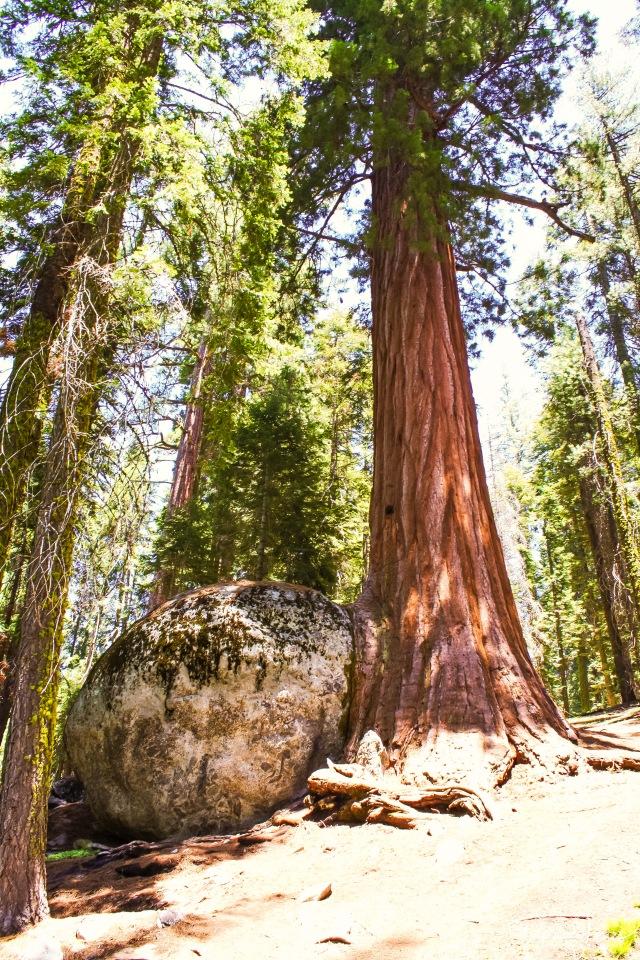 Sequoia (38)