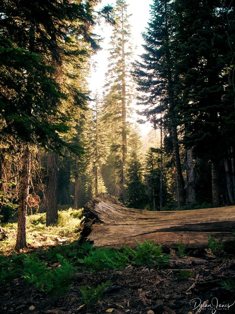 Sequoia (5)