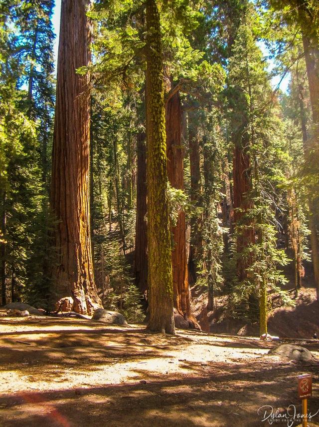 Sequoia (7)