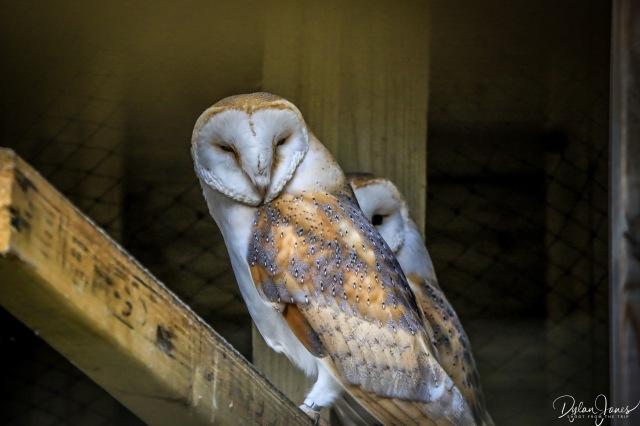 Owls (3)