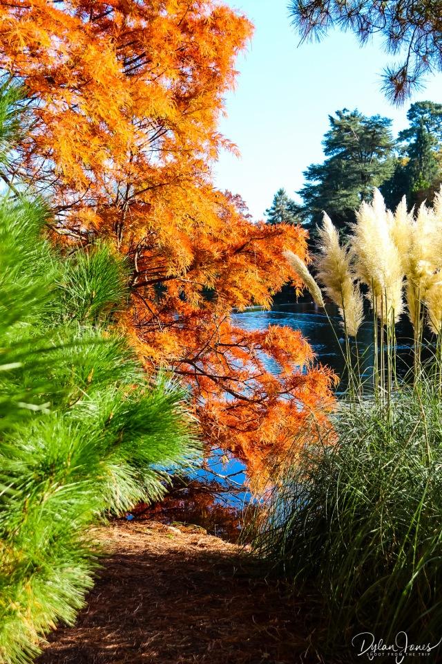 Sheffield Park and Garden Taxodium distichum