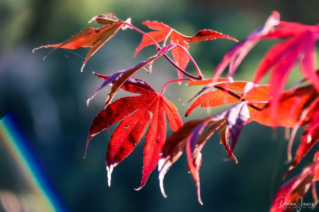 Sheffield Park and Garden red acer leaves close up